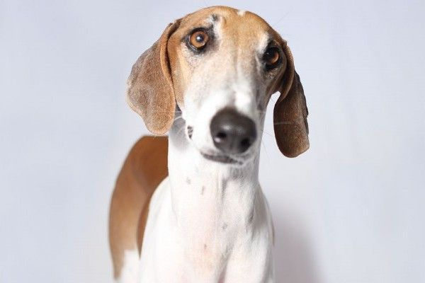 6 More Dog Breeds You Ve Probably Never Heard Of Woofipedia By