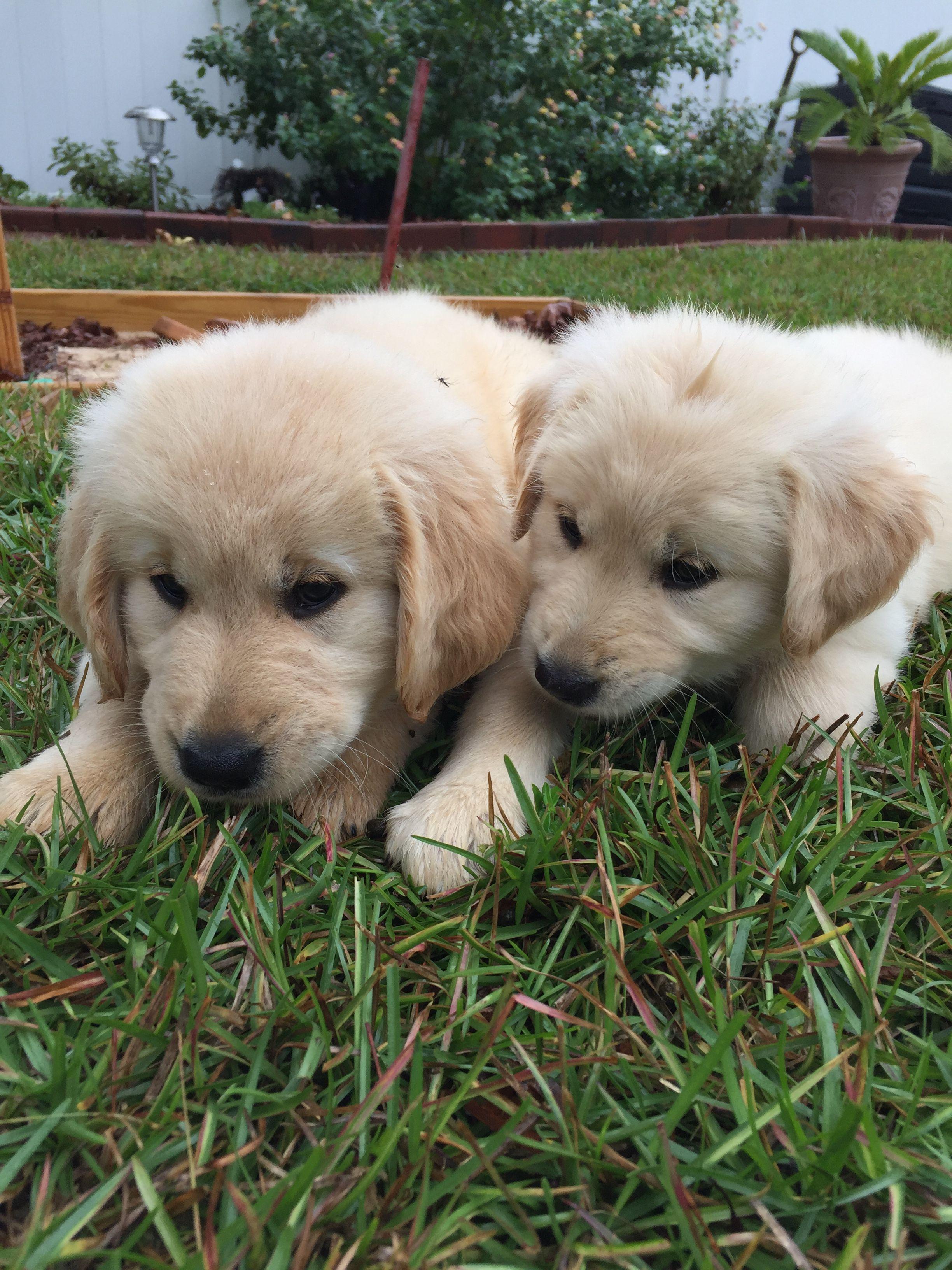 Golden Retriever Puppies Golden Retriever Westie Puppies Baby Dogs