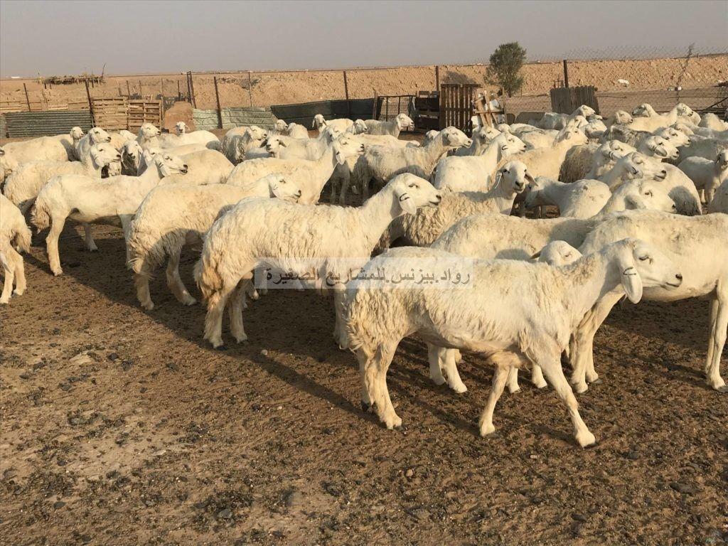 مشروع غنم في السعودية مع دراسة جدوى Pdf Sheep Farm Farm Goats