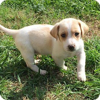 Dachshund Puppy for adoption in Austin, Texas - Vishnu