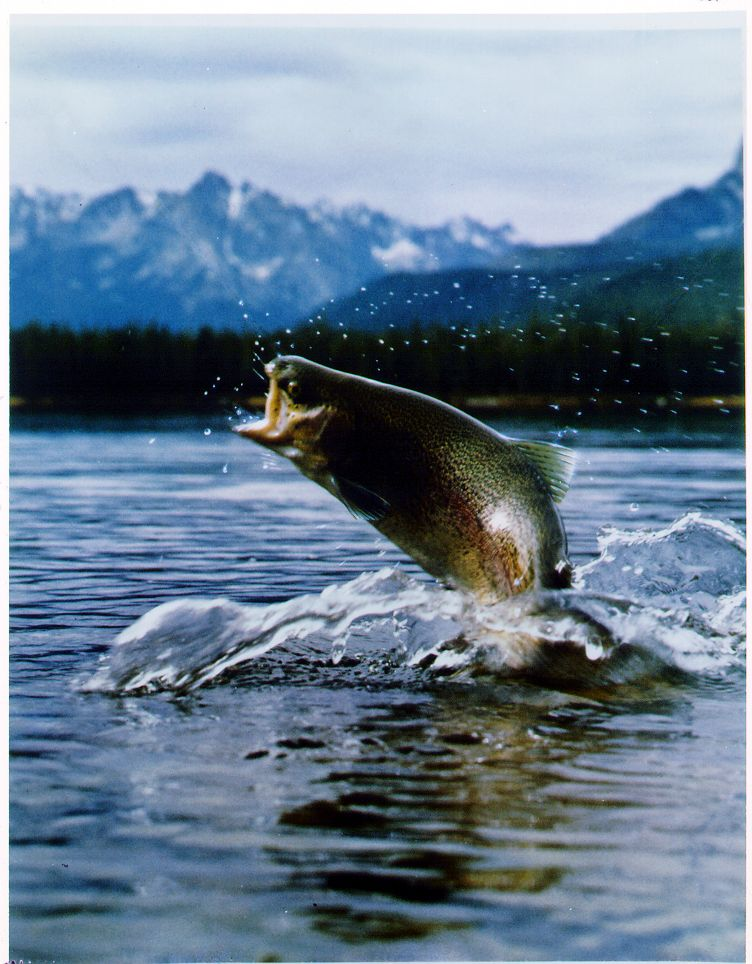 trout jumping - Google Search | First Av