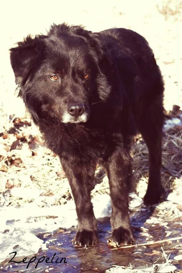 Adopt 200 Zeppelin 3 Rescued On Retriever Dog Dogs Puppies Dog Pounds