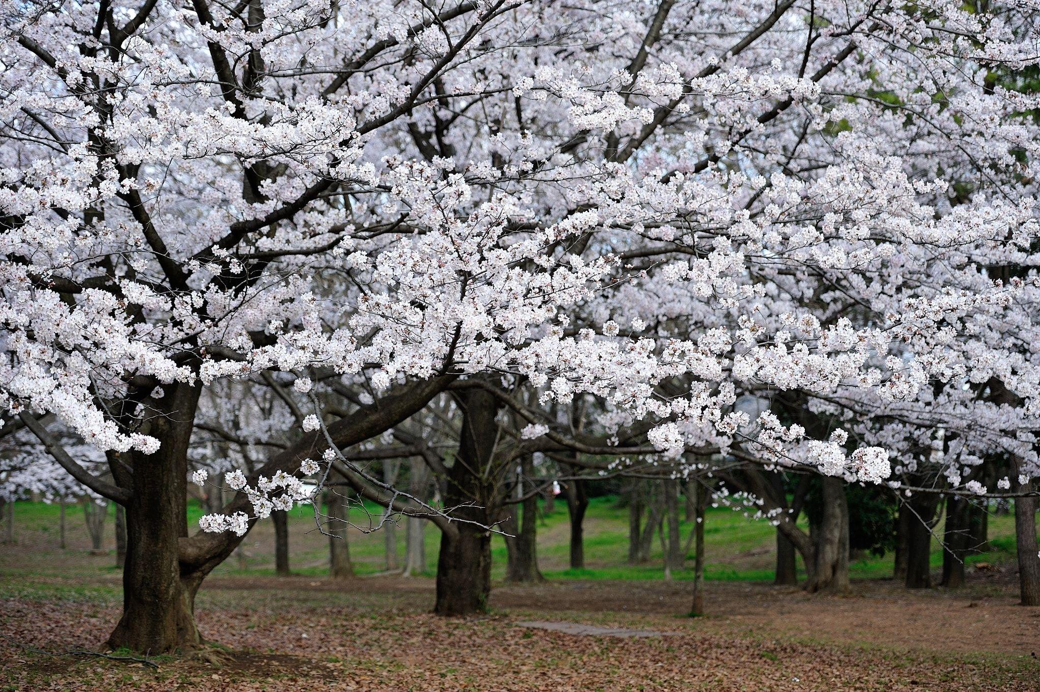 Sakura Full Bloom Cherry Blossoms In Full Bloom Spring Desktop Wallpaper Spring Wallpaper Phone Wallpaper