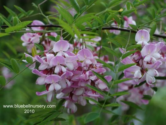 Robinia X Slavinii Hillieri Rose Acacia Tree Small Tree With Pretty Slightly Fragrant Pale Pink Flowers Bo Tree Nursery Trees And Shrubs Garden Trees