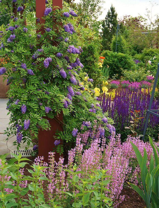 .Wisteria frutescens 'Amethyst Falls' , Salvia