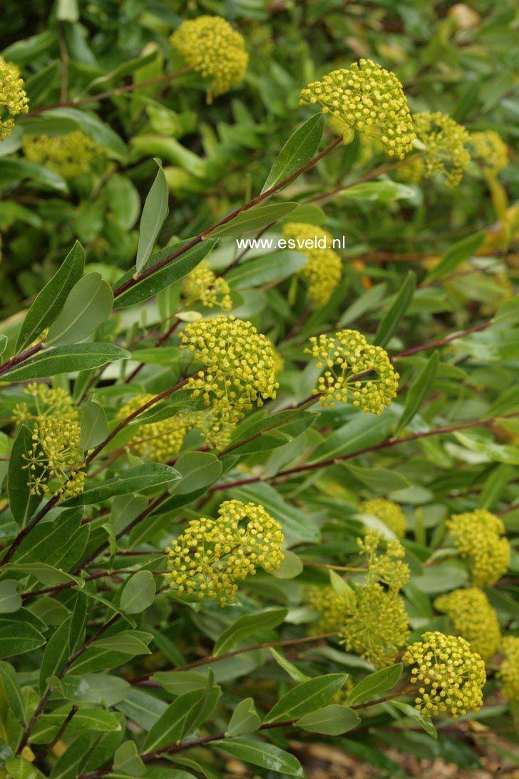 Bupleurum fruticosum. Heester wintergroen maar beschermt plaatsen.