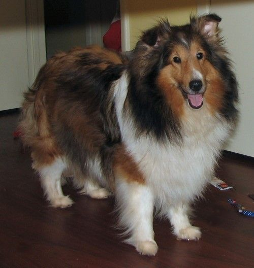 Blessed Shelties Shetland Sheepdog This Is What A Purebred Should