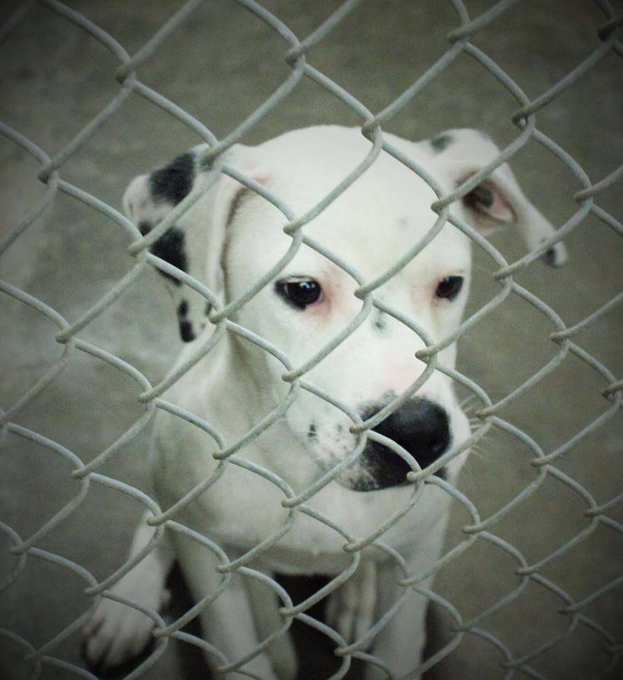 Dalmatian Puppies For Adoption In Texas Ideas
