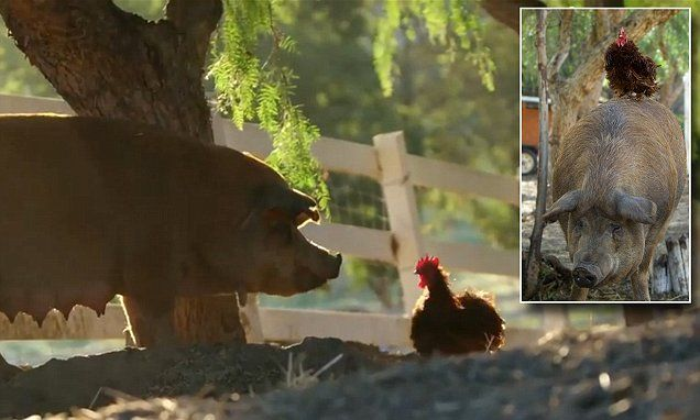 The story of the little red rooster who cheered up the pig #DailyMail | See this & more at: http://twodaysnewstand.weebly.com/mail-onlinecom