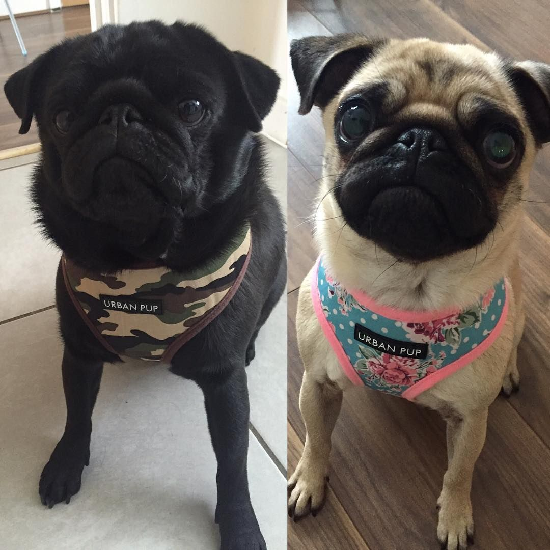 Urban Pup Soft Harnesses At Www Ilovepugs Co Uk In Sizes S Xl Post