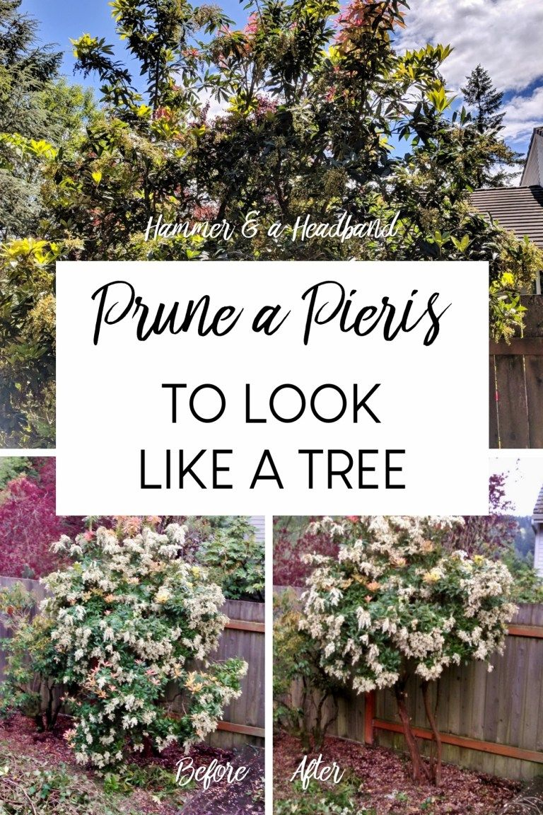 Pruning A Pieris From Sloppy Shrub To Manicured Evergreen Shrubs Landscaping Inspiration Evergreen Hedge
