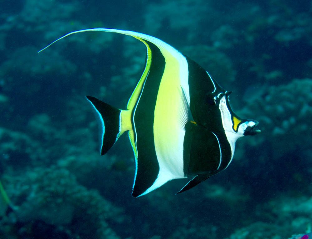 Zanclus Cornutus Moorish Idol Marine Fish Ocean Creatures