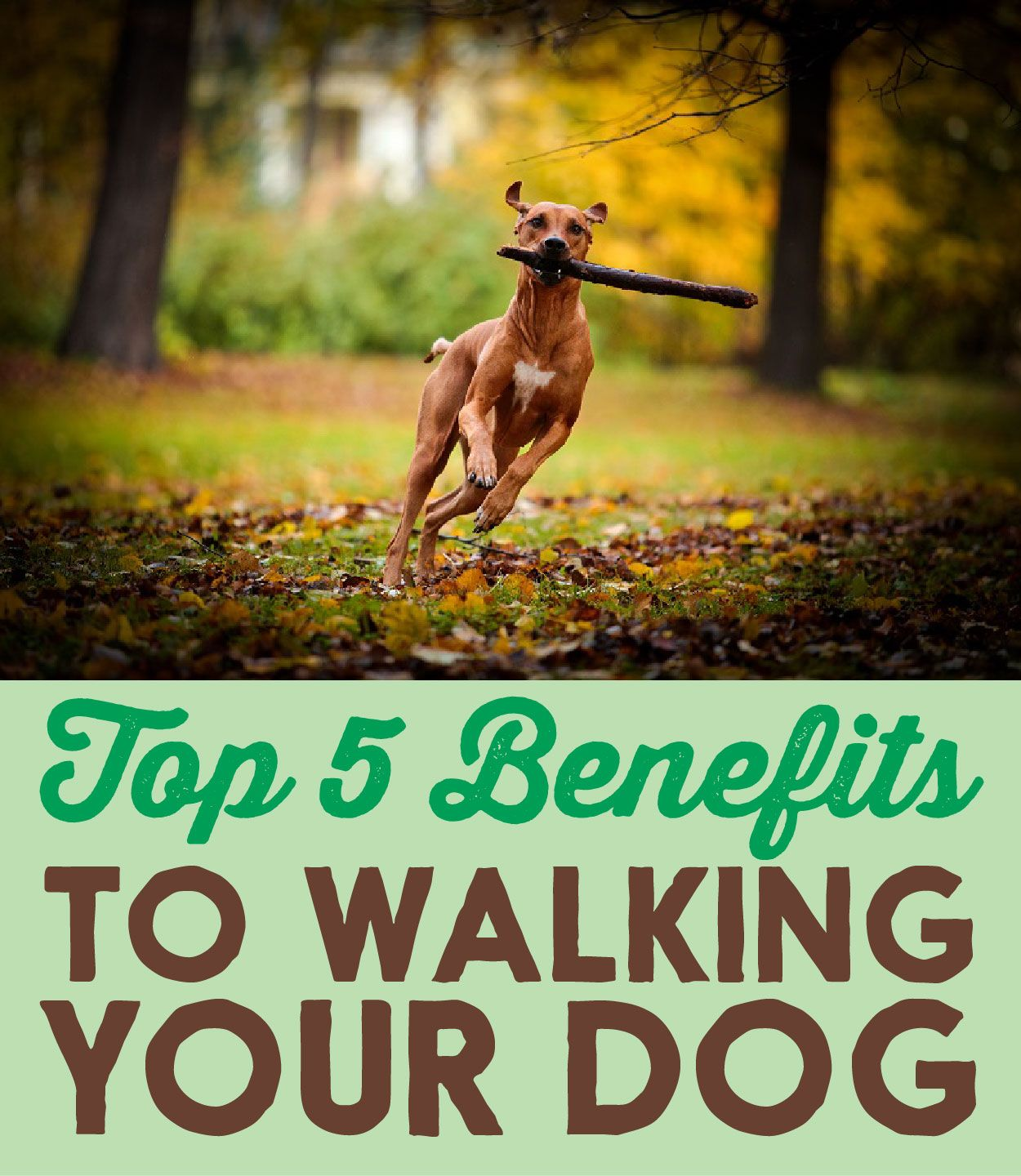 Top 5 Benefits to Walking Your Dog Your dog, Dog care