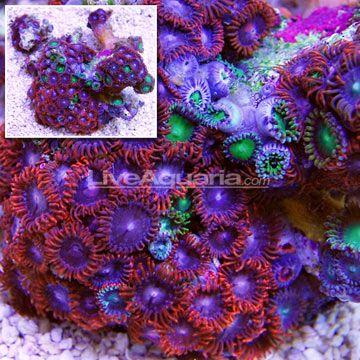 Fiery Grape And Radioactive Dragon Eye Colony Polyp Rock Zoanthus Im Saltwater Fish Tanks Reef Tank Fish Tank