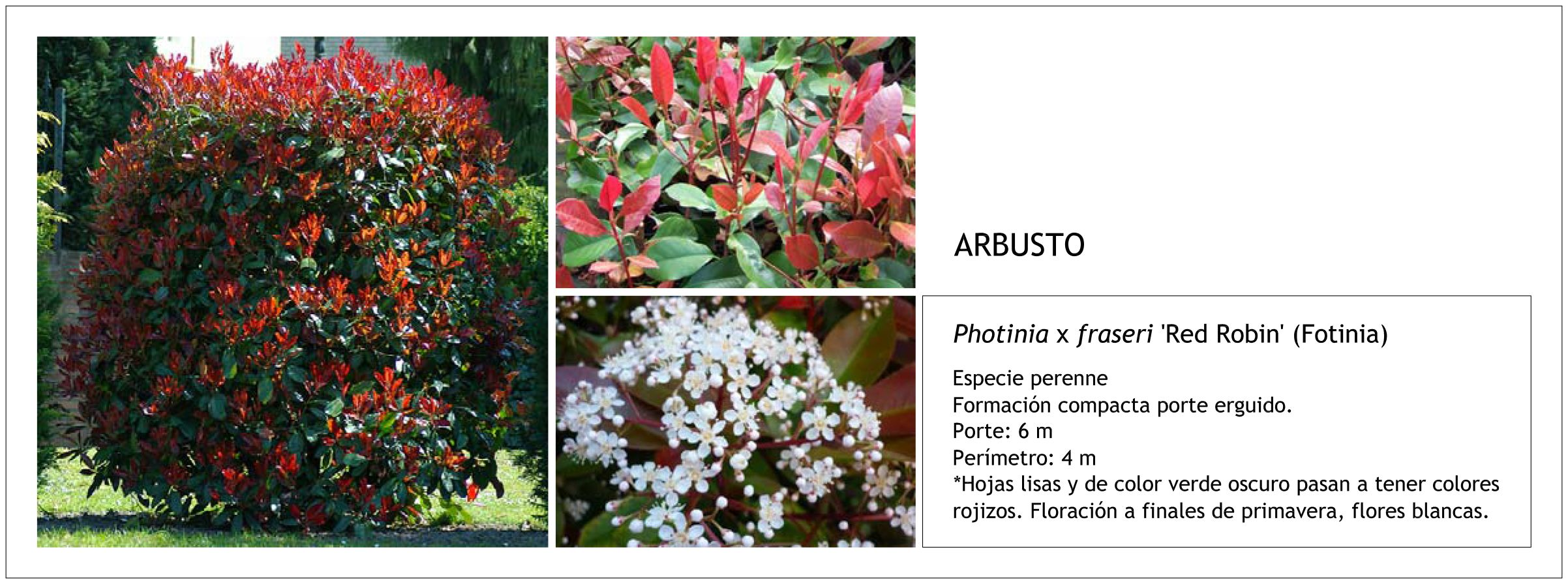 Photinia x fraseri 39 red robin 39 fotinia fichas majar - Plantas perennes exterior ...