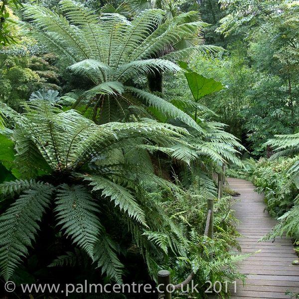 Dicksonia Antartica From Palm Centre Ferns Garden Tree Fern Shade Garden