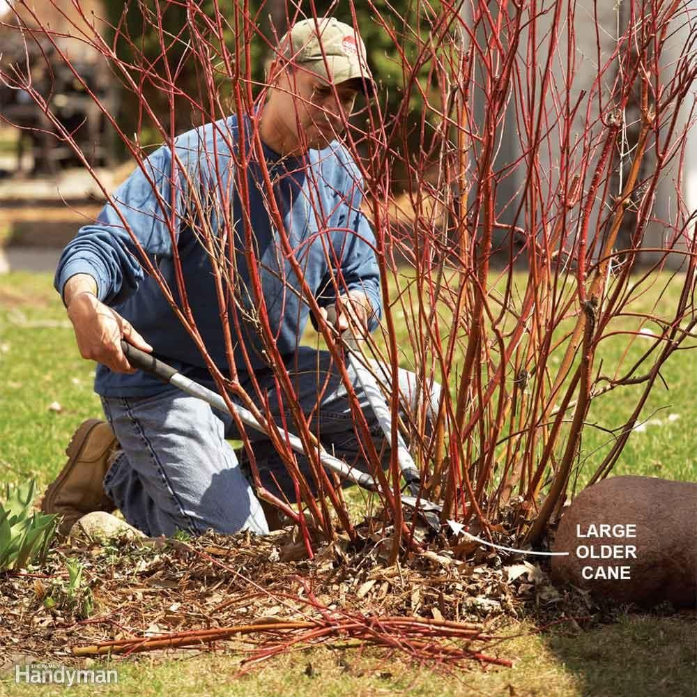Bush pruning tips for healthier bushes with images how