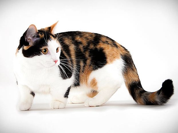 Cat Breed Photo Gallery Animal Planet Cat Breeds Munchkin Cat Cute Cats