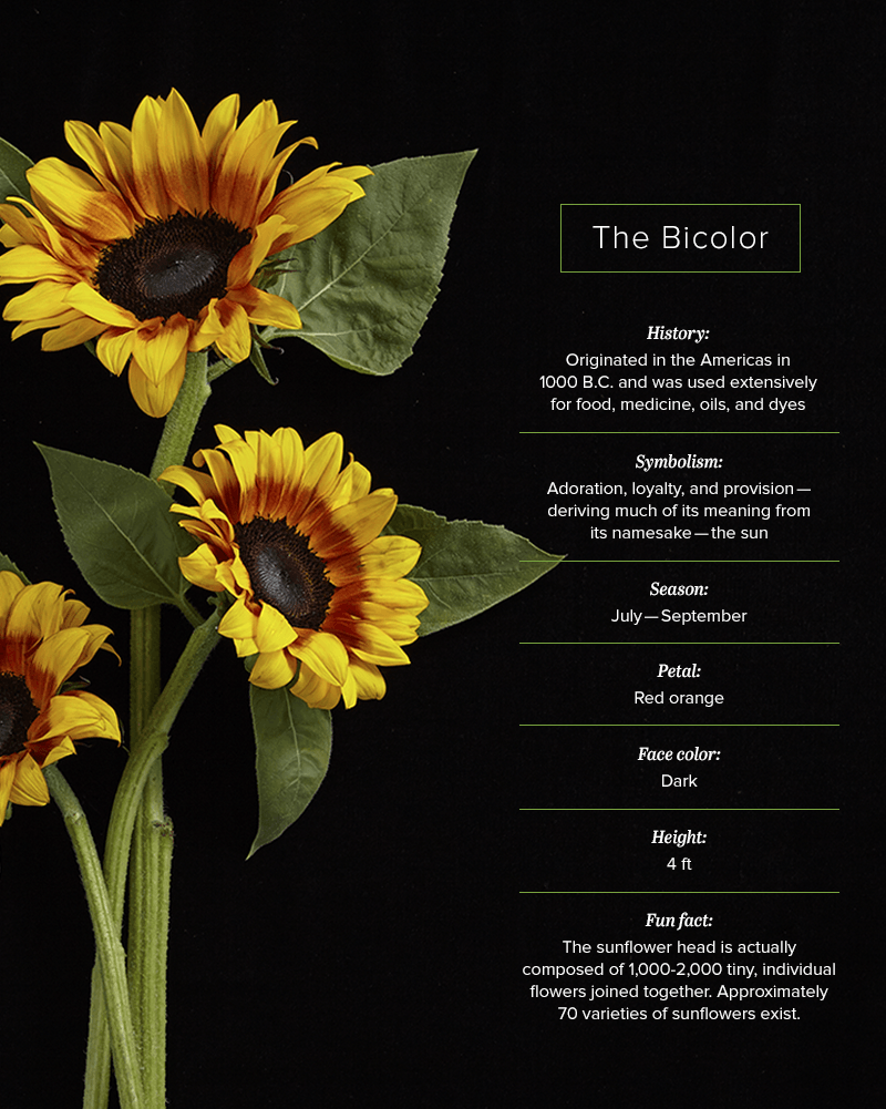 16 Sunflower Facts That Are So Sweet Proflowers Blog Sunflower Facts Sunflower Flower Meanings