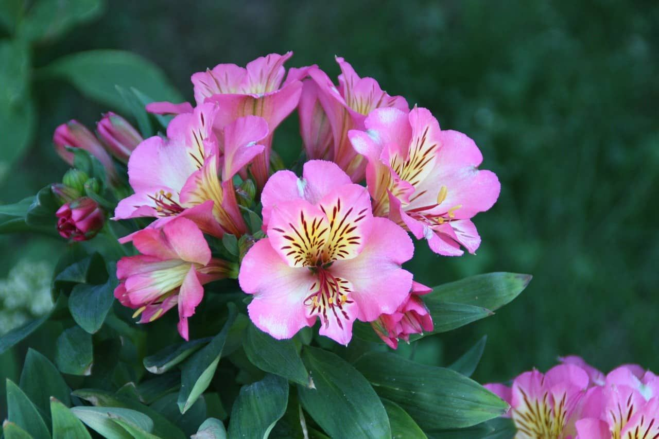 Alstroemeria Flower Meaning And Symbolism In Everyday Lives Flower Meanings Flower Names Alstroemeria