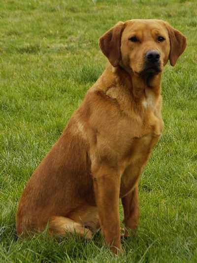 Fox Red Labrador This Looks Like My Dog I Have Now Labrador