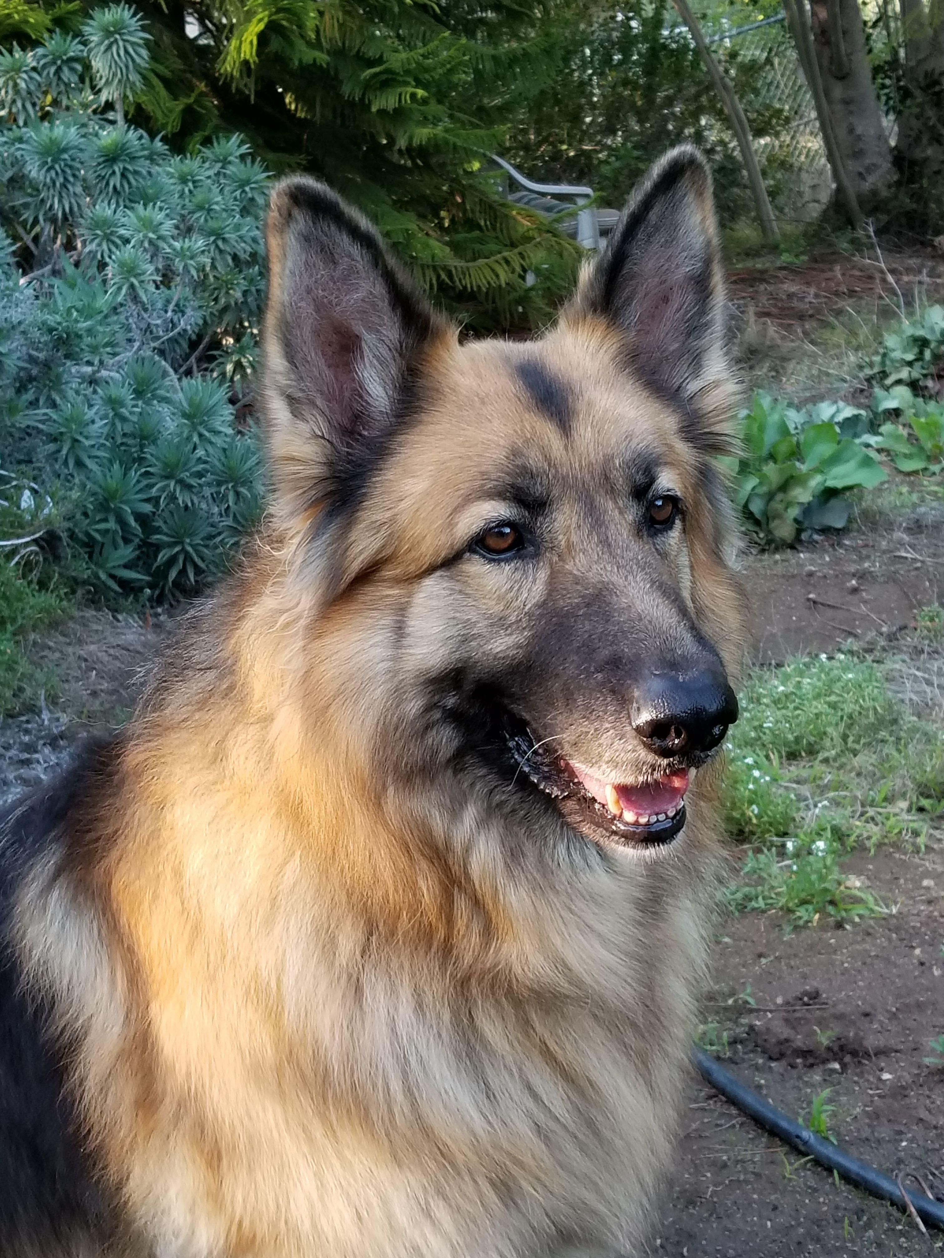 My Beautiful Rescue Quince German Shepherd Dogs Long Coat
