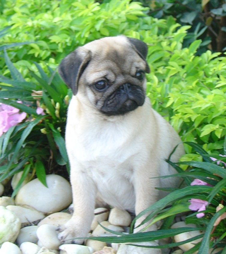 Coral Bay Pugs Pug Puppies For Sale Pug Puppies