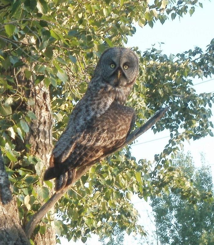 Photos of a Great Grey Owl | Great grey owl, Owl ...