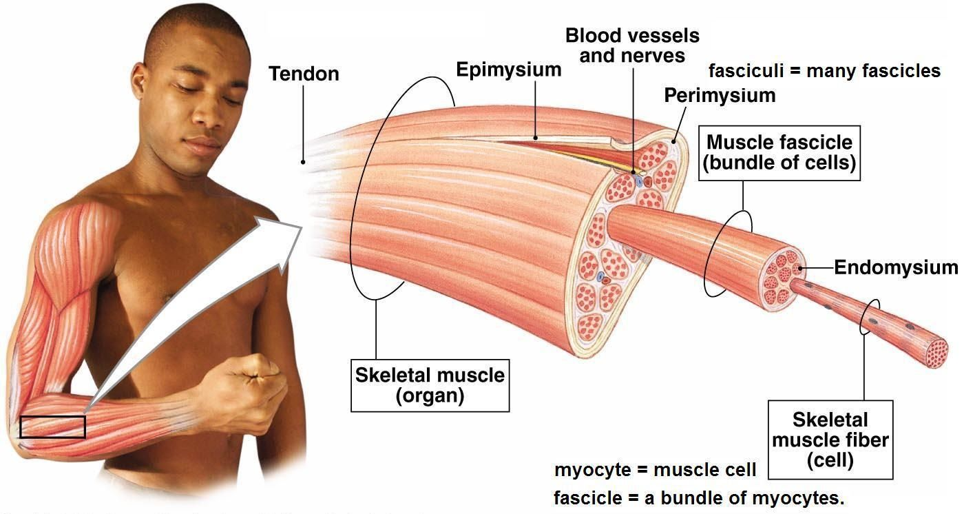 microtear in muscles | muscles | Pinterest | Muscles