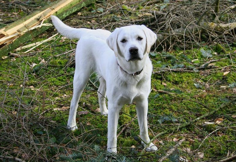 Labrador Names The Ultimate List 225 Great Names Labrador Names Labrador Retriever Dog Names