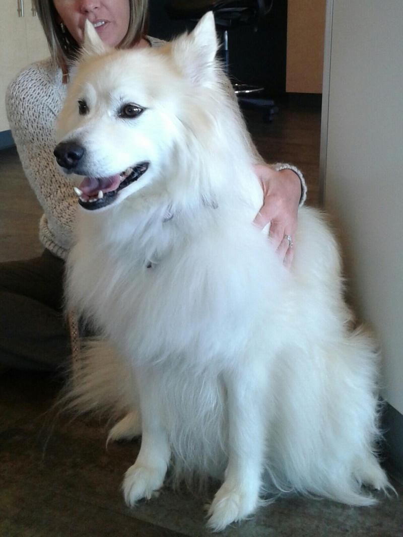 Adopt Sophie Adopted!! on American eskimo dog, Dogs