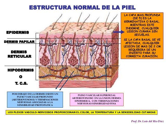 Resultado de imagen para dermis papilar y reticular esquema