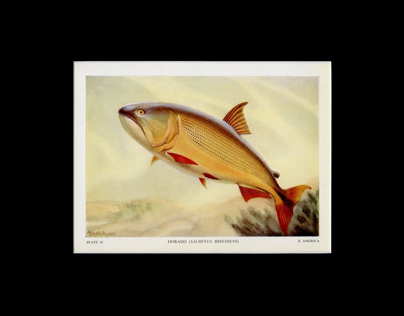 MATTED Vintage Fish Print - \