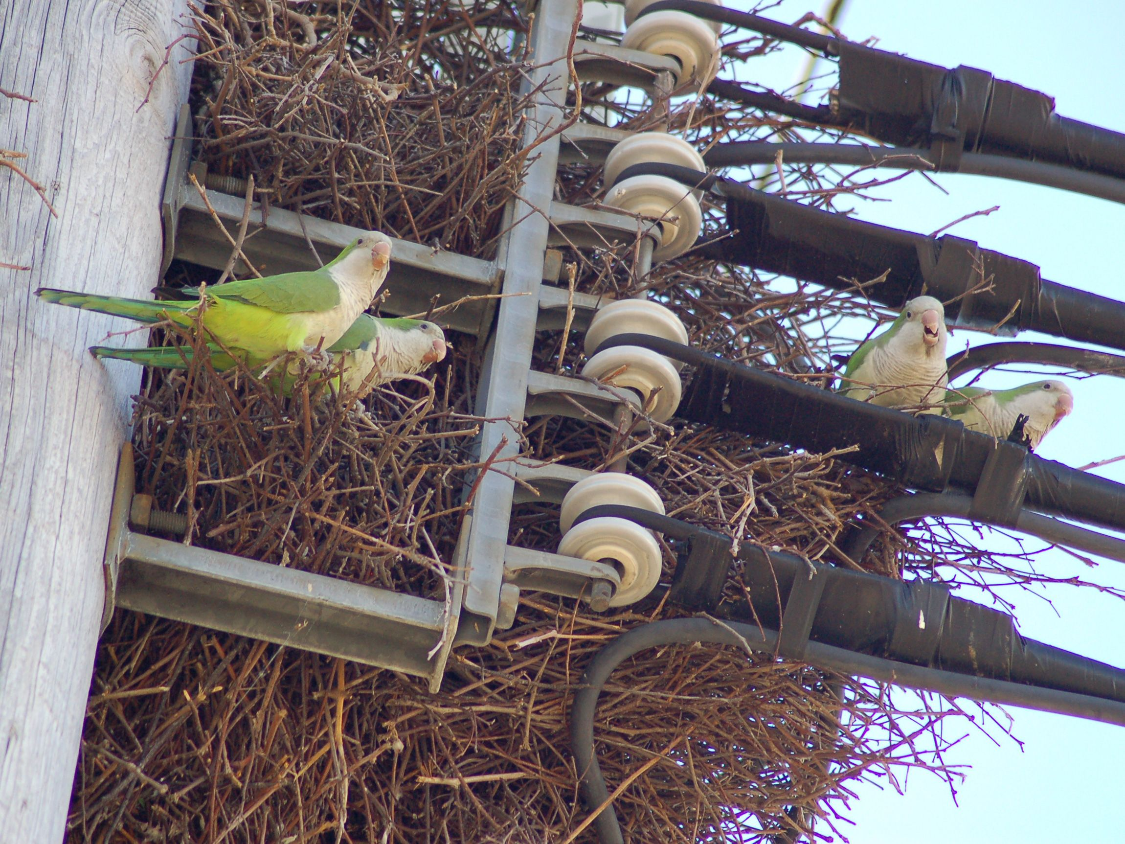 Please Contact PSE&G to protest Quaker Parrot nest removal ...