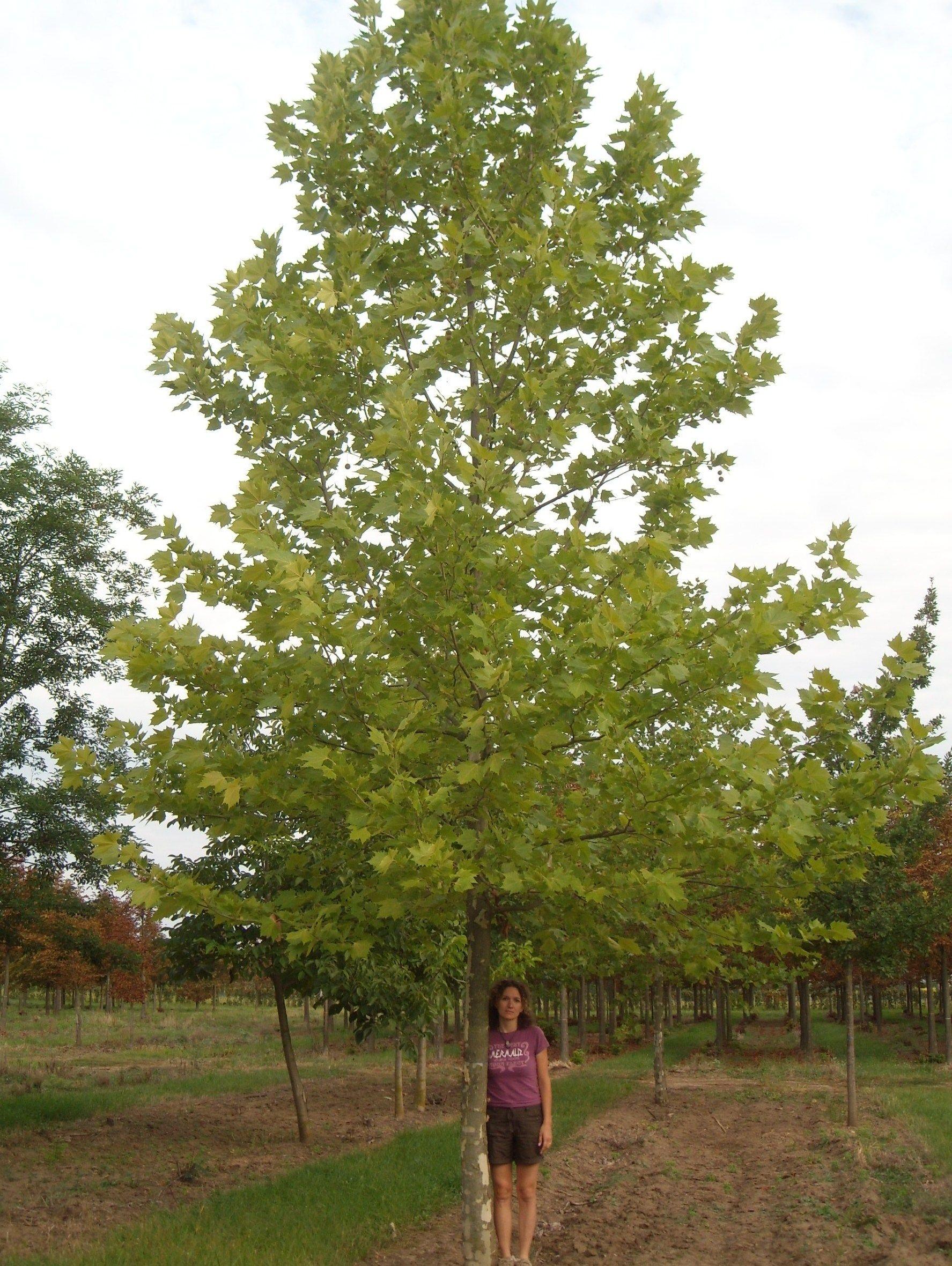 Platanus Acerifolia  Google Search