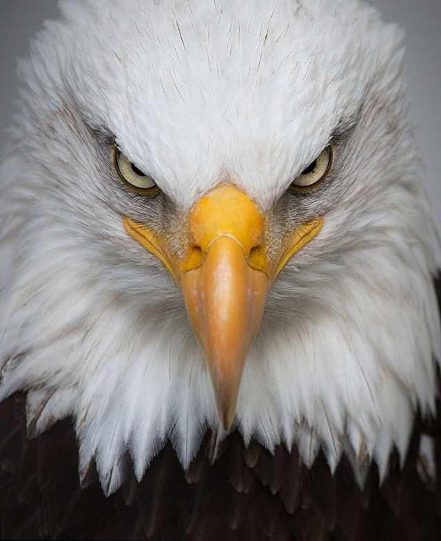 American Bald Eagle Beautiful Birds Butterflies