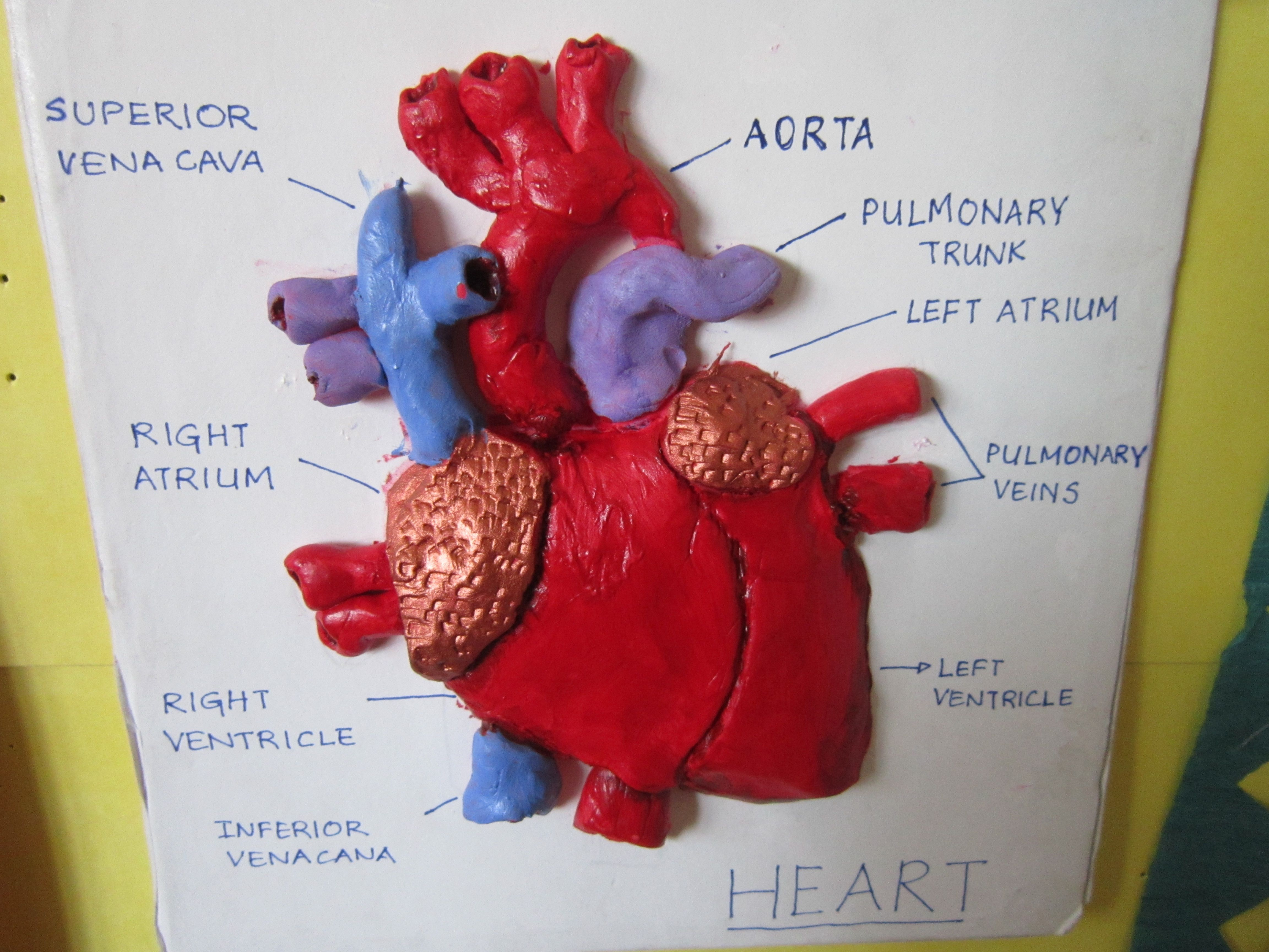 How To Make A 3d Human Heart Gis News Primary Department