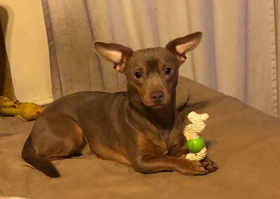 Adopt Mocha On Dachshund Mix Adoption Pet Adoption