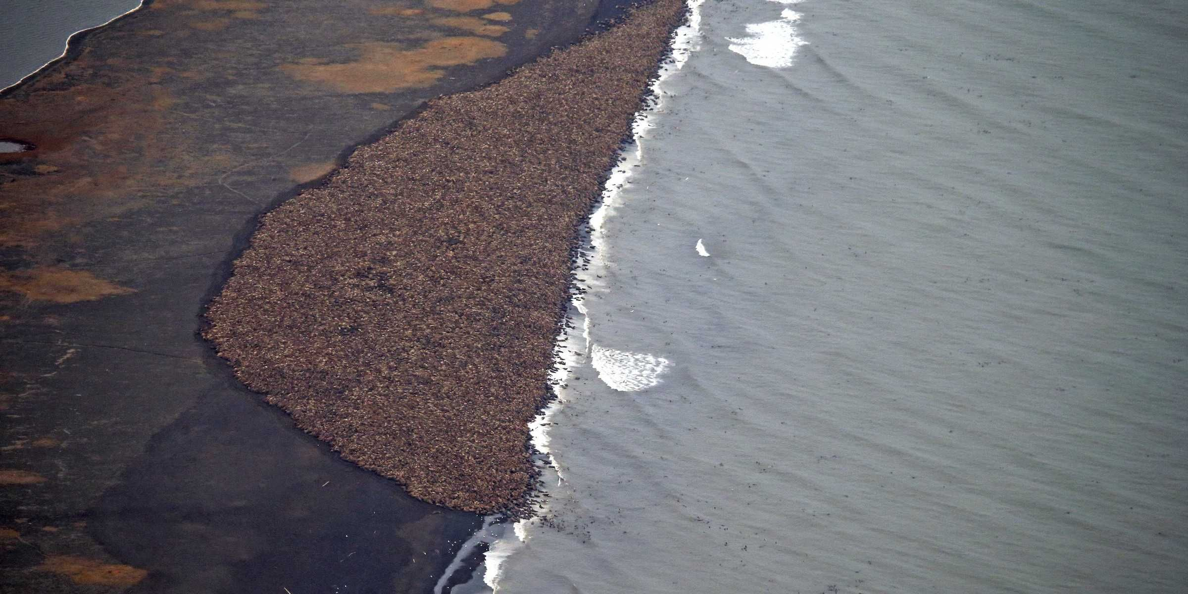The U.S. Federal Aviation Administration has altered the path of flights over a shore near Point Lay, Alaska, where an estimated 35,000 Pacific walruses, unable to find sea ice, have clustered together near the beach.  The fear is that planes will startle the giant clump of walruses, causing a stampede that could be particularly dangerous for baby walruses, according to The Guardian.