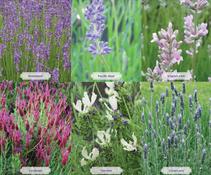 Lavender Garden Design Pictures How To Grow Lavender Garden - english garden designs photos