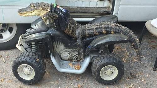 A Floridawoman is struggling to keep ownership of her beloved 6 foot alligator, Rambo, despite having him for 11 years with a license.