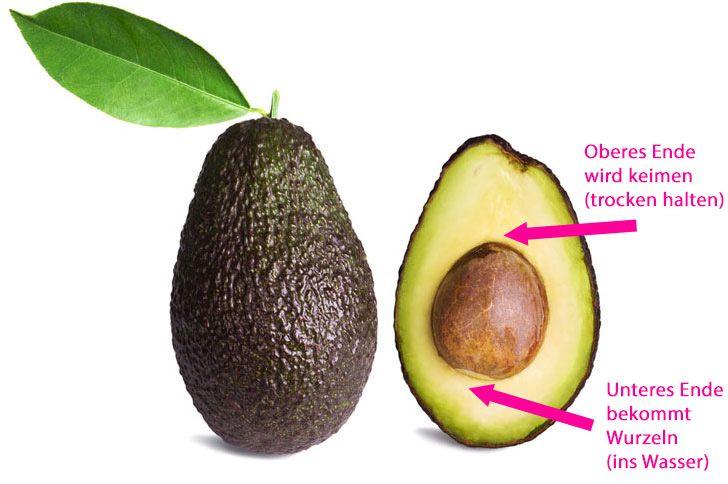 willst du eine eigene avocado pflanze mit nur einem. Black Bedroom Furniture Sets. Home Design Ideas