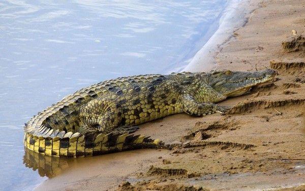 صور حيوانات برمائيه اجمل صور للزواحف والتماسيح لقطات Nile Crocodile Crocodile Animal Crocodiles