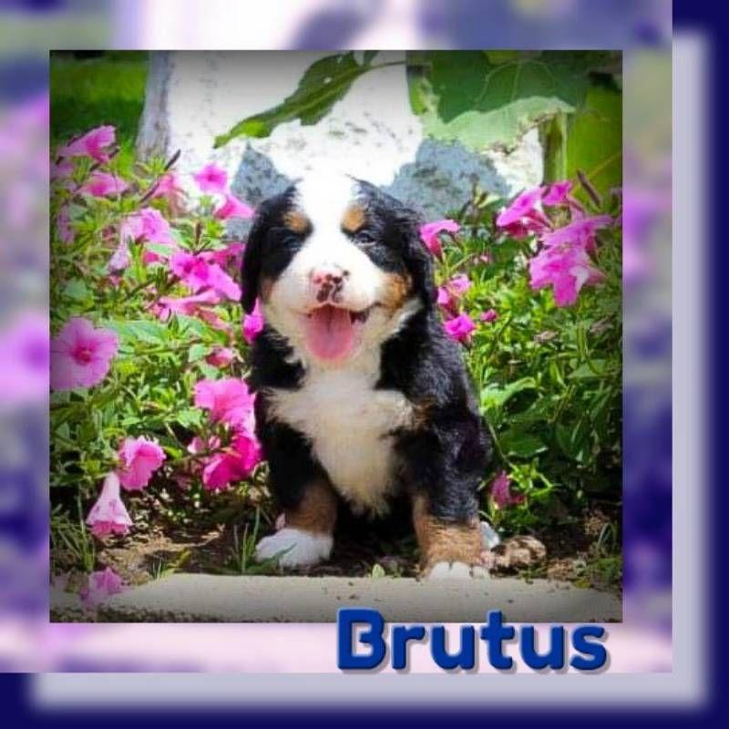 Brutus Male Akc Bernese Mountain Dog 699 Mountain Dogs Bernese Mountain Dog Dogs