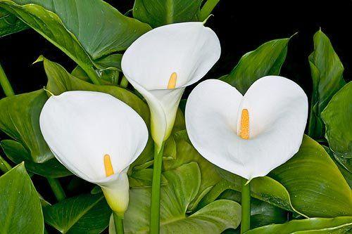 alchechengi pianta - Cerca con Google