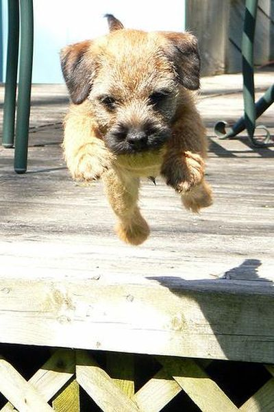 Border Terrier Pupppppy Olive Border Terrier Puppy Terrier