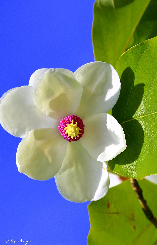magnolia sieboldii fleurs pinterest fleurs. Black Bedroom Furniture Sets. Home Design Ideas