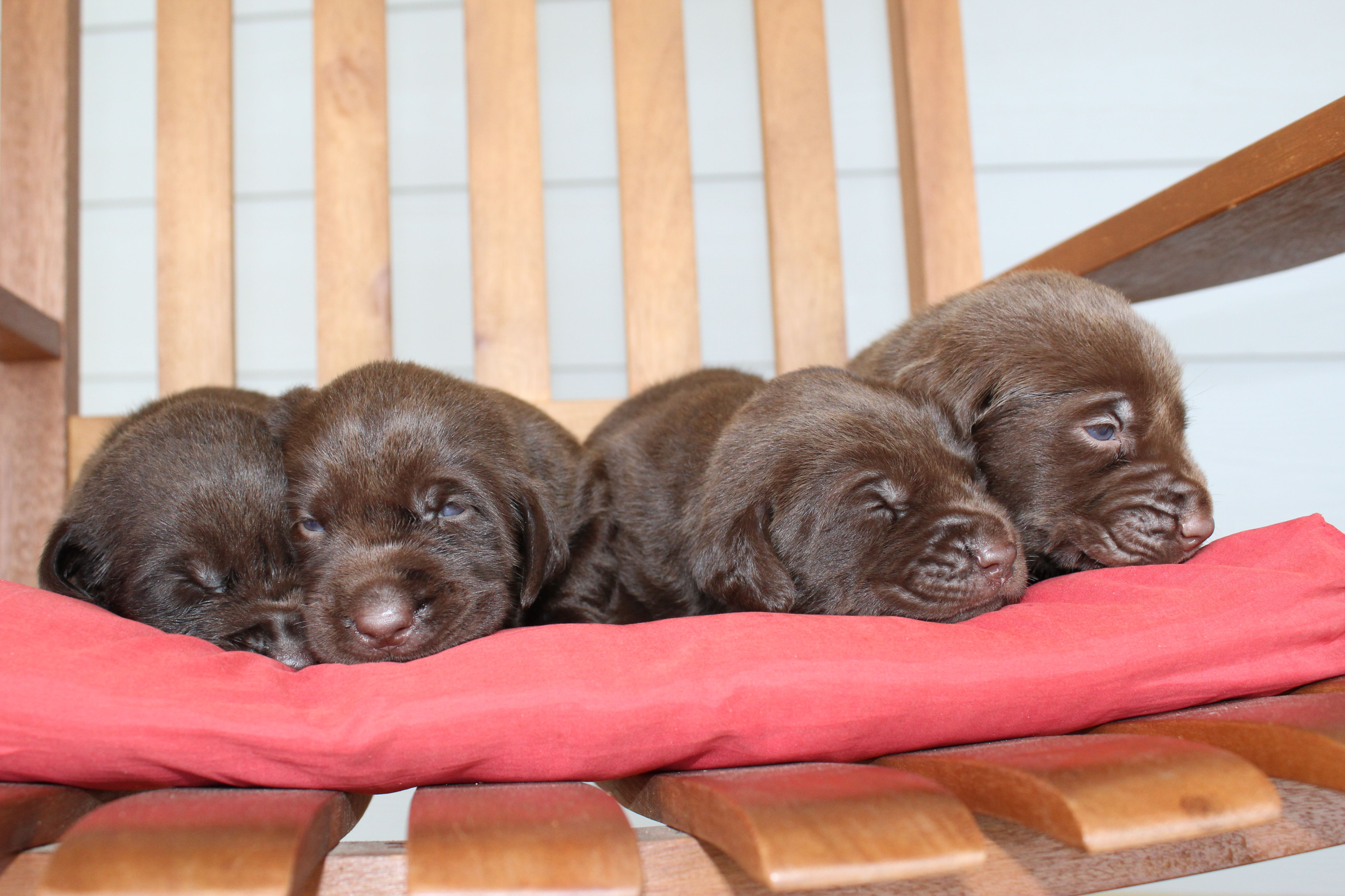 Abby's Litter Labrador Retriever puppies for sale in