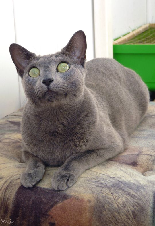 My Photography Of Our 2 Cats Russian Blue Kitten Russian Blue Russian Blue Cat