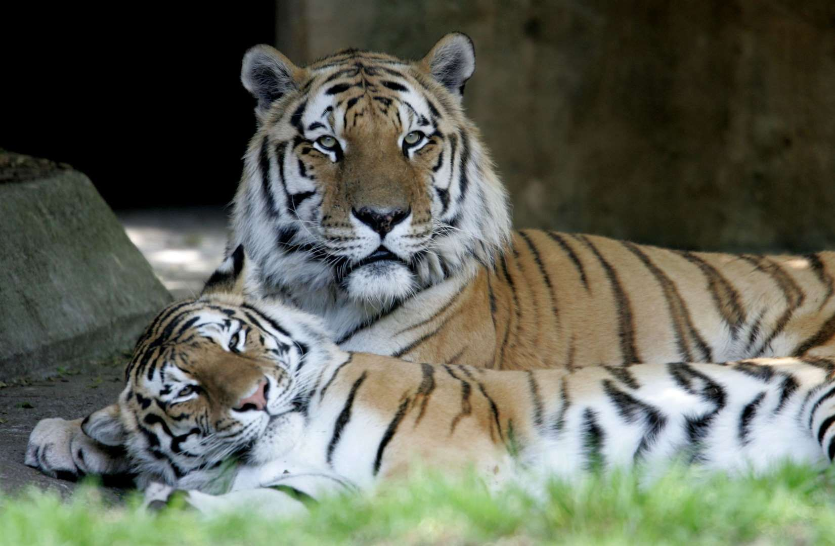 Tigers Justin Sullivan Getty Images Animals Tiger Marine Animals